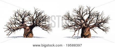 High resolution huge baobab trees isolated on white without leafs