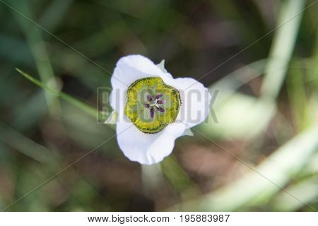 Mariposa Lily with three white petals and purple stamen found in the Rocky Mountains.