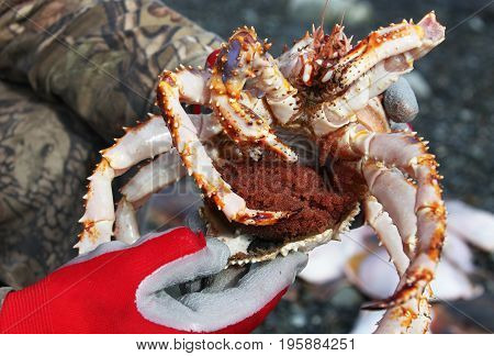 Far East Crab with caviar in the hands of the fisherman