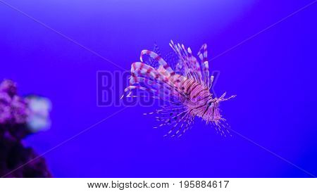 Pterois volitans, Lionfish with space for your text.