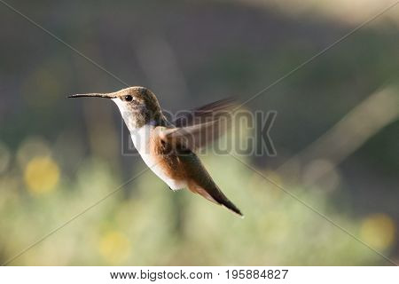 A female Anna Hummingbird searching for nectar in the Rocky Mountain high country. Calypte anna