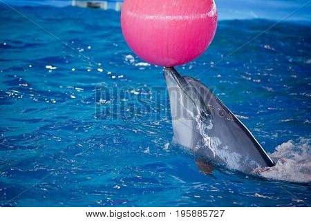 Dolphin in the Dolphin plays with a ball.