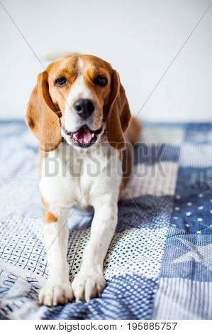 Beagle dog on white background at home lies on bed. Beagle dog yawns