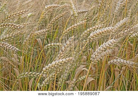 Growing in a corn field. It is almost mature, the ears and stems have a yellow hue. The ears are full of mature, good grain.