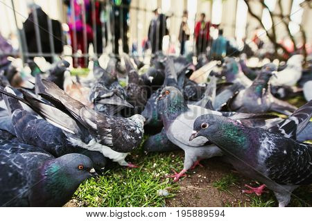 Pigeons eat oatmeal on the street close up. Pigeons on the streets of the city. A flock of pigeons. Pigeons on green grass. Pigeons are looking into the camera.