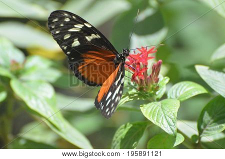 Zuleika butterfly polinating a blooming red flower blossom.