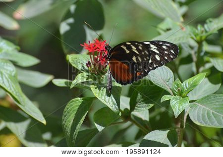 Beautiful zuleika butterfly polinating a red blooming flower.