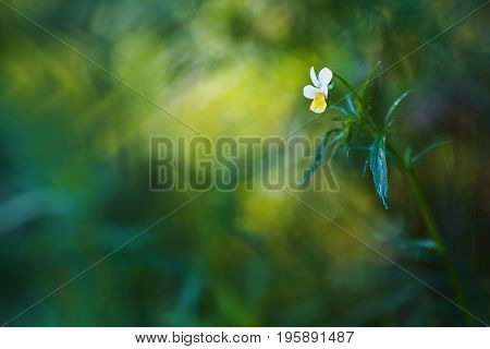 A wild flower with dew. White summer flower with a drop of water on a yellow background in the forest. Greeting card with flower. Beautiful natural flower template. Beautiful summer flower. Spring fresh flower.