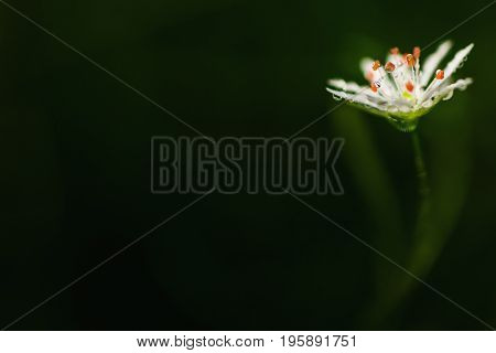 Beautiful delicate white flower with drops of dew on a dark green background. Greeting card with flower. Beautiful natural flower template. Beautiful summer flower. Spring fresh flower. Flower against the background of summer nature
