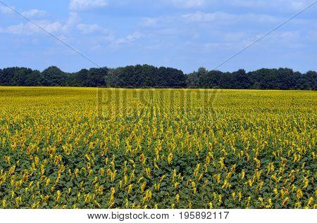 Sunflowers.Malorussia.Near Kiev