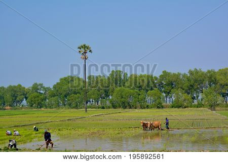 HPA-AN MYANMAR - FEB 10 2016 Burmese farmers planting rice sprouts into the water. Man cultivating the field with help of the harnessed bulls on the background.