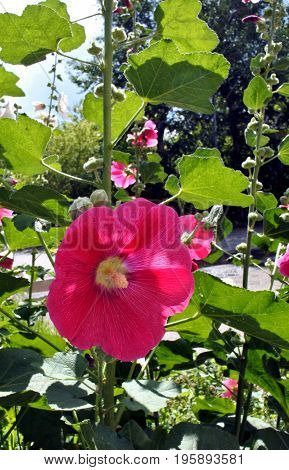 bright and beautiful red flower hollyhock in sun light