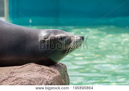 Californian Sealion resting on a rock in the sun