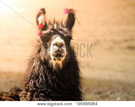 Close-up portrait of brown llama, Andes, South America.