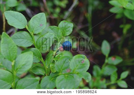 Macro photo of a blueberry bush with one berry