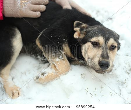 shepherd puppy close up photo with human hands on snow background