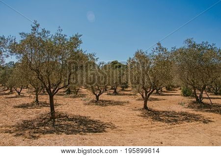 View of olive tree plantation under the sunny and warm sky of Provence near the village of Lourmarin. In the Vaucluse department, Provence-Alpes-Côte d'Azur region, southeastern France