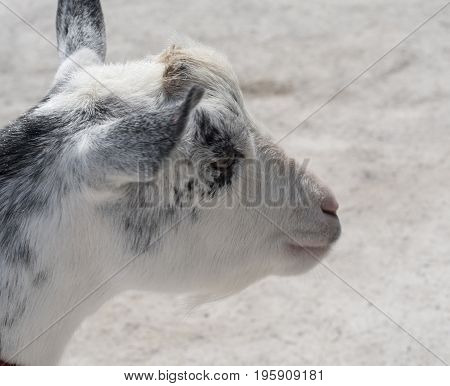 Cute white and black kid goat.  Shallow depth of field with copy space.