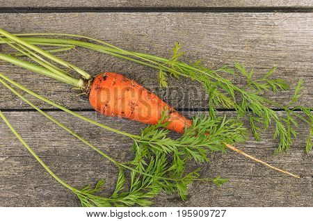 Fresh Organic Carrots on wooden background, rustical, selective focus