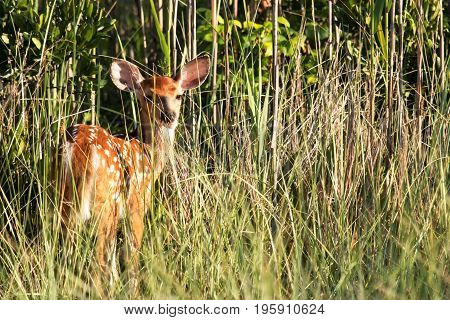 A baby deer in the tall beach grass and bushes looks back to see what the noise is
