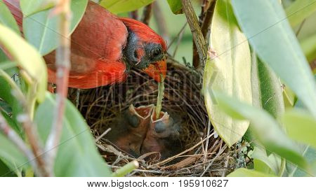 A very red male cardinal feeds a green worm to two of his three day old babies in the nest