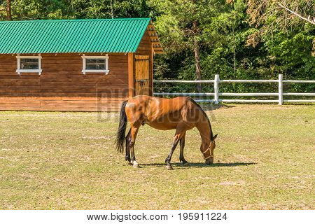 A beautiful horse on a summer playground in the background of a fragment of a stable in Mezhyhiria near Kiev.