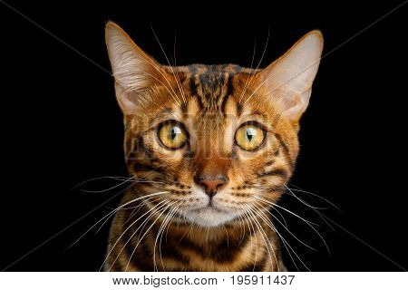 Portrait of Bengal Cat Stare in camera on isolated Black Background