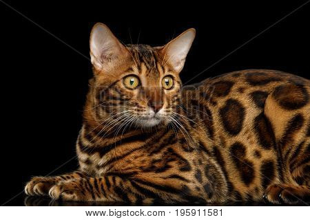 Beautiful Bengal Cat Lying on isolated Black Background with reflection, Side view with rosette