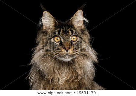 Close-up Portrait of Huge Maine Coon Cat Stare Isolated on Black Background, Front view
