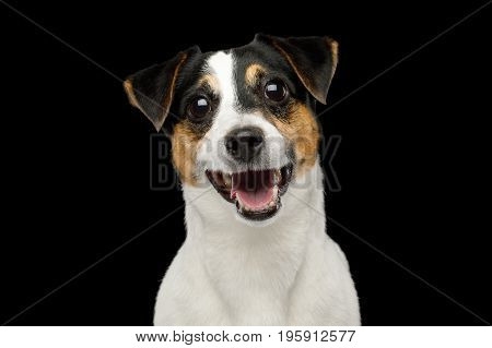 Closeup Portrait of Smiling Jack Russell Terrier Dog isolated on Black background