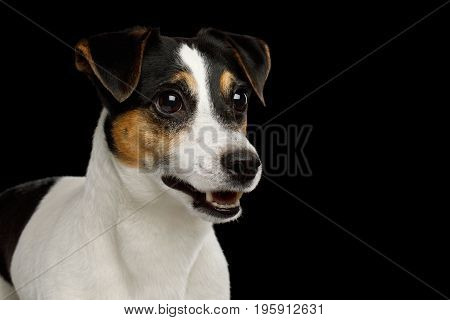 Portrait of Jack Russell Terrier Dog isolated on Black background, profile view