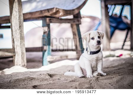 A very little white balinese puppy on the sand, outside, tropical island Nusa Lembongan, Indonesia.