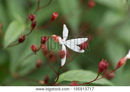 Flower of a Bowman root Gillenia trifoliata.