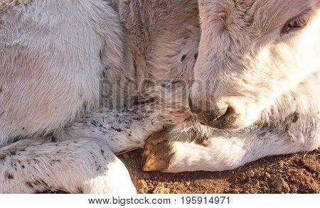 White calf basks in the sunlight on a farm in Palmer, Nebraska.