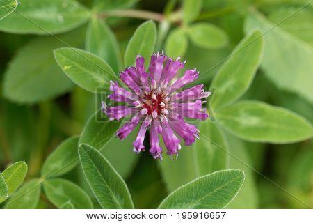 Macro photo of a red clover flower Trifolium pratense.