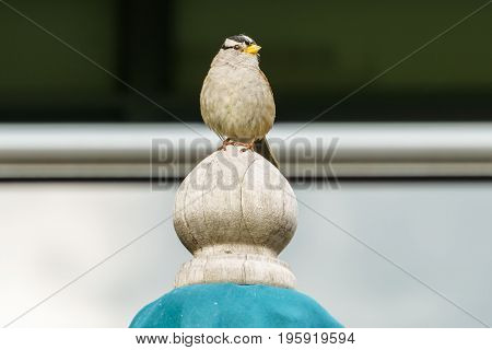 House Sparrow Passer domesticus wild bird with blurred background