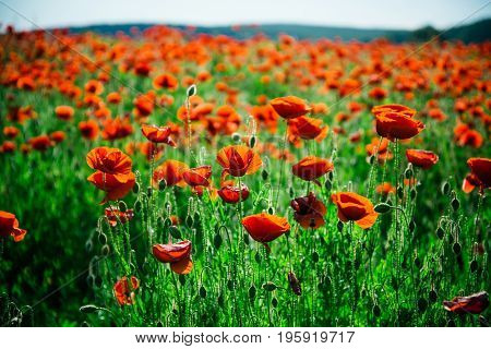 beauty in nature field of red poppy seed flower on green stem as background summer and spring drug and love intoxication opium