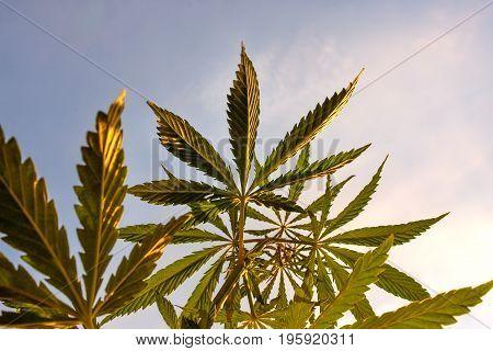 Cannabis High Quality. Marijuana. Hemp. Cannabis, Good Background. Cannabis Leaf On Blurred Backgrou