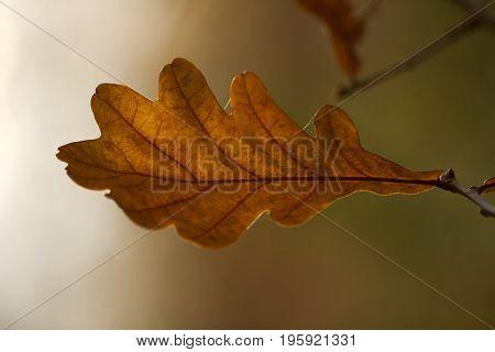 Autumn leaf of oak on a blurry background