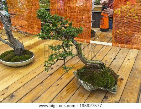 Northern White-cedar - Bonsai In The Style Of