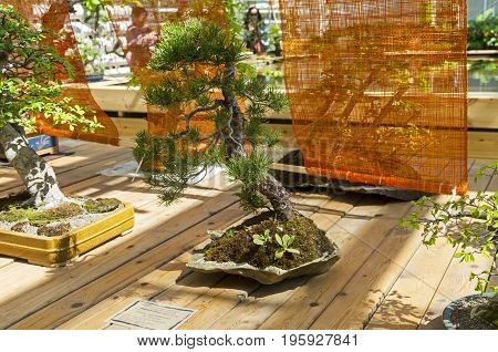Scots Pine - Bonsai In The Style Of