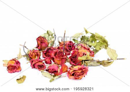 Withered roses and petals scattered on white background.