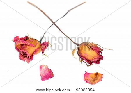 Withered roses and petals over white background.