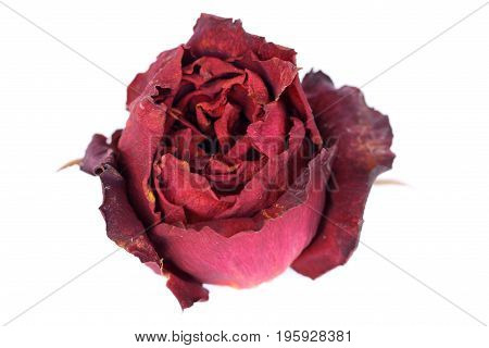 Whithered red rose isolated on white background.