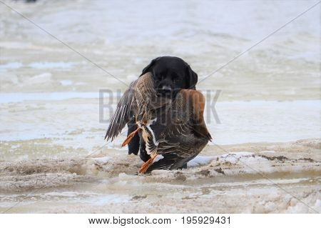 Taimyr. Hunting for wild geese in the Taimyr tundra. Labrador's work on hunting.