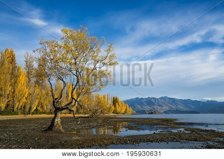 Wanaka tree yellow leaves with blue sky in Autumn South Island of New Zealand