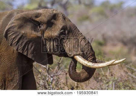 African bush elephantl in Kruger national park, South Africa ; Specie Loxodonta africana family of Elephantidae