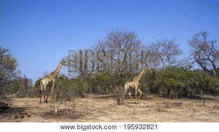 Giraffe in Kruger national park, South Africa ;Specie Giraffa camelopardalis family of Giraffidae