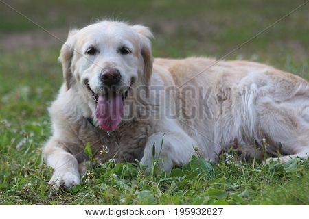Golden retriever lie on the grass. Animals and narure.