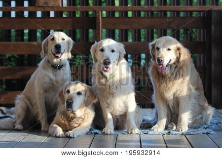 Golden retriever family. On the countryside. Pets.